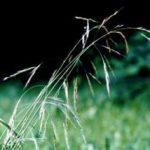 Blütenessenz WALDTRESPE (Bromus ramosus)