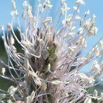 Blütenessenz MITTLERER WEGERICH (Plantago media)