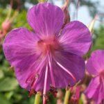 Blütenessenz SCHNMALBLÄTTRIGES WEIDENRÖSCHEN (Epilobium angustifolium)