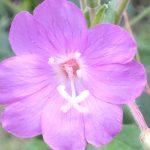 Blütenessenz ZOTTIGES WEIDENRÖSCHEN (Epilobium hirsutum)
