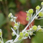 Blütenessenz WERMUT (Artemisia absinthium)