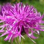 Blütenessenz WIESENFLOCKENBLUME (Centaurea jacea)