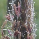Blütenessenz WIESENFUCHSSCHWANZ (Alopecurus pratensis)