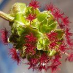 Blütenessenz KLEINER WIESENKNOPF (Sanguisorba minor)