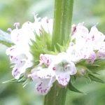 Blütenessenz WOLFSTRAPP (Lycopus europaeus)