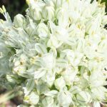 Blütenessenz ZWIEBEL (Allium cepa)