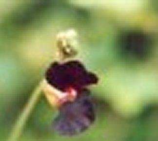 Bali-Blütenessenz BALIWICKE (Fabaceae)