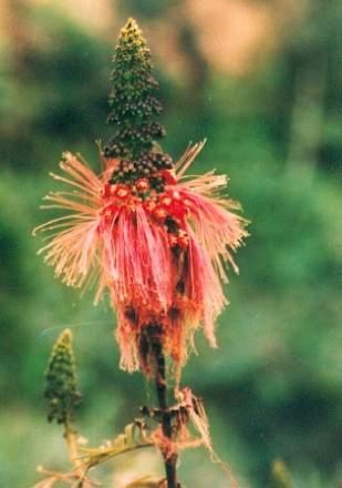 Bali-Blütenessenz CALLIANDRA (Calliandra)