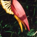 Blütenessenz HELICONIE (Heliconia collinsiana)