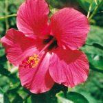 Blütenessenz ROSA HIBISKUS (Hibiscus rosa sinensis)