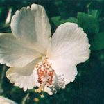 Blütenessenz WEISSER HIBISKUS (Hibiscus rosa sinensis)