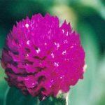 Blütenessenz JUWELENBLUME (Gomphrena globosa)