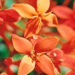 Blütenessenz KORALLENSTRAUCH (Ixoria javanica)