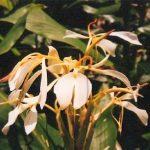 Blütenessenz LILIE VON KINTAMANIE (Hedydrium coronarium)