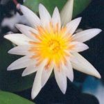 Blütenessenz BLAUER LOTUS (Nymphaea)