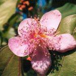 Blütenessenz ORLEANSBAUM (Brixa orellana)