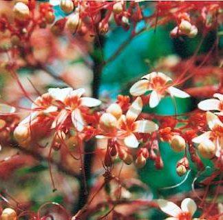 Bali-Blütenessenz PAGODENBLUME (Clerodendron paniculatum)