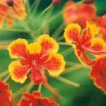 Blütenessenz PFAUENBLUME (Caesalpina pulcherrima)