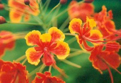 Bali-Blütenessenz PFAUENBLUME (Caesalpina pulcherrima)