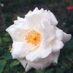 Blütenessenz WEISSE ROSE (Rosa hybrida)