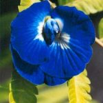 Blütenessenz SCHMETTERLINGSERBSE (Clitoria ternatea)