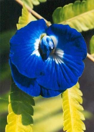 Bali-Blütenessenz SCHMETTERLINGSERBSE (Clitoria ternatea)