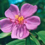 Blütenessenz TIBOUCHINE (Tibouchina urvilleana)