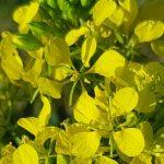 Blütenessenz ACKERSENF (Sinarpis arvensis)