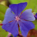 Blütenessenz BLEIWURZ (Ceratostigma willmottiana)