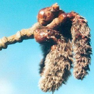 Blütenessenz ESPE (Populus tremula)