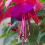 Blütenessenz FUCHSIE (Fuchsia hybrida)