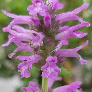 Blütenessenz HEILZIEST (Stachys officinale)