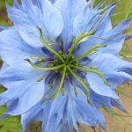 Blütenessenz JUNGFER IM GRÜNEN (Nigella damascena)