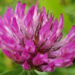 Blütenessenz KLEE, ROTER (Trifolium pratense)