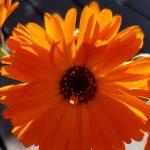 Blütenessenz RINGELBLUME (Calendula officinalis)