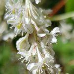 Blütenessenz SCHLINGSKNÖTERICH (Fallopia aubertii)