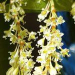 Blütenessenz STAUDENKNÖTERICH (Reynoutria japonica)