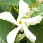 Blütenessenz STERNJASMIN (Trachelospernum jasminoides)