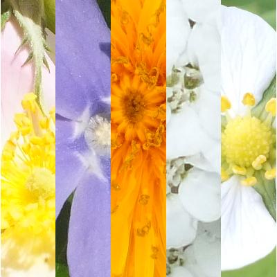Blütenmischung INNERE FRAU