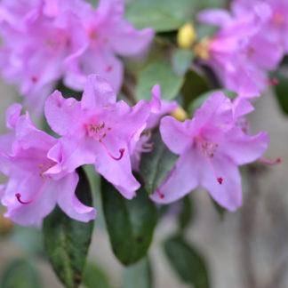 Blütenessenz AZALEE (Rhododendron Sorte)