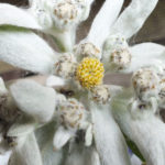 Blütenessenz EDELWEISS (Leontopodium)