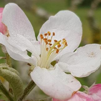 Blütenessenz APFEL (Malus domestica)