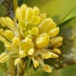 Blütenessenz BUCHSBAUM (Buxus sempervirens)