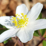 Blütenessenz BUSCHWINDRÖSCHEN (Anemone nemorosa)