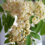 Blütenessenz EBERESCHE (Sorbus aucuparia)