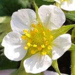 Blütenessenz ERDBEERE (Fragaria chiloensis)