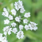Blütenessenz GIERSCH (Aegopodium odagraria)