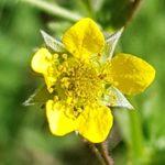 Blütenessenz NELKENWURZ (Geum urbanum)