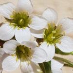 Blütenessenz KNÖLLCHEN-STEINBRECH (Saxifraga granulata)