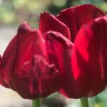 Blütenessenz ROTE TULPE